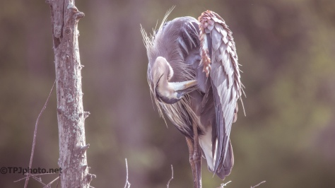 Great Blue Heron Resting - Click To Enlarge