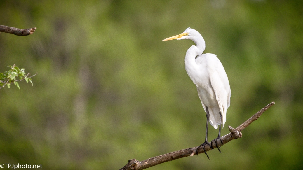 Sitting Pretty, Egret - Click To Enlarge