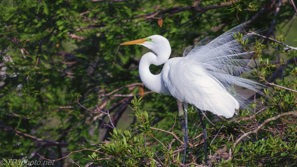 Showing Off, Great Egret - Click To Enlarge