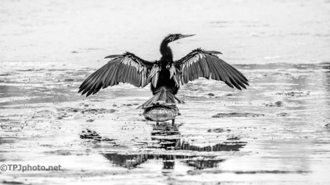 Anhinga, IIford 125 Filter