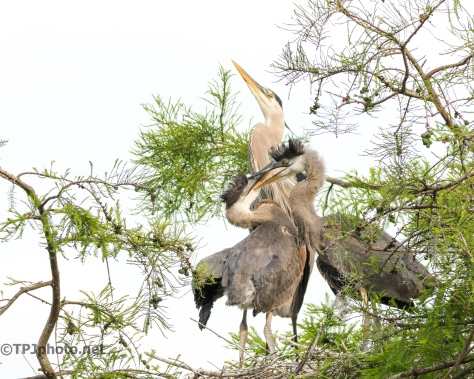 Tale Of Two Herons, Sibling Rivalry - Click To Enlarge