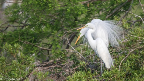 Egrets Dancing For Each Other - Click To Enlarge