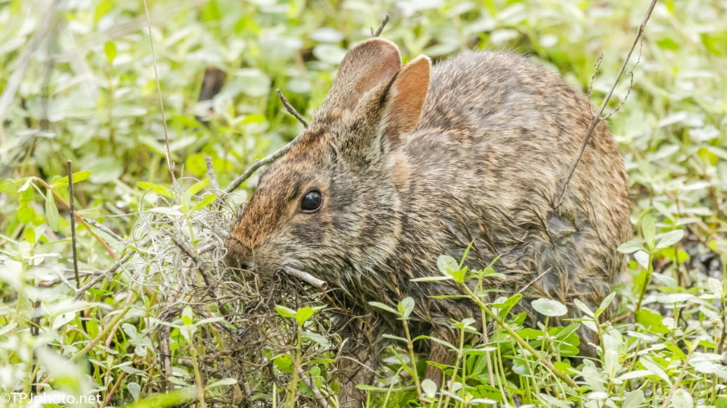 Marsh Rabbit Build Her Nest - Click To Enlarge