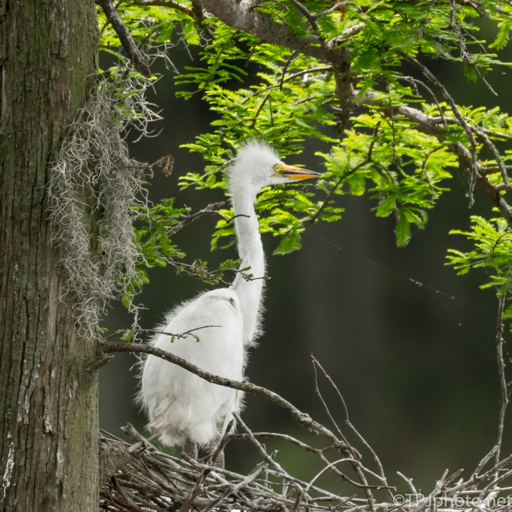 Waiting On Mom, Egret - Click To Enlarge