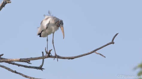 Solitary Wood Stork - Click To Enlarge