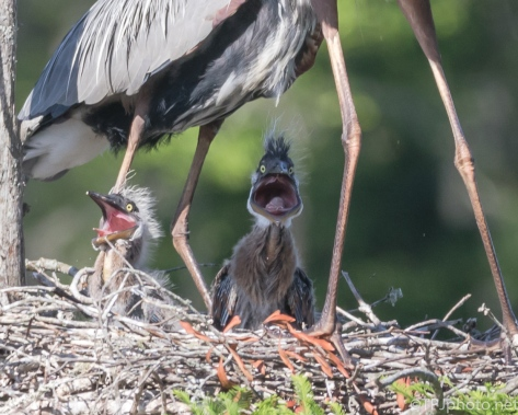 What I Big Mouth You Have, Heron - Click To Enlarge