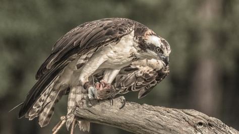 Osprey, Rehab