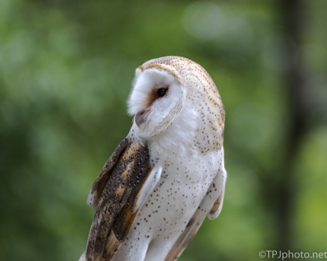 The Barn Owl - Click To Enlarge