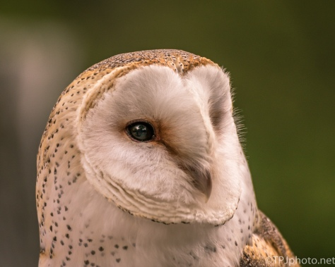 Barn Owl Portrait - Click To Enlarge