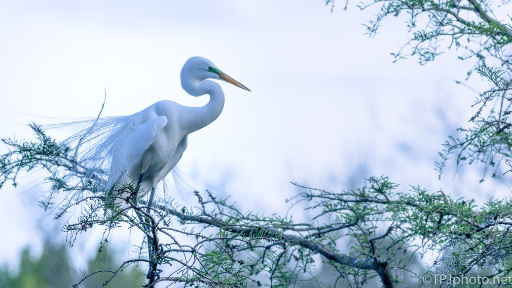 Great Egret Portrait - Click To Enlarge