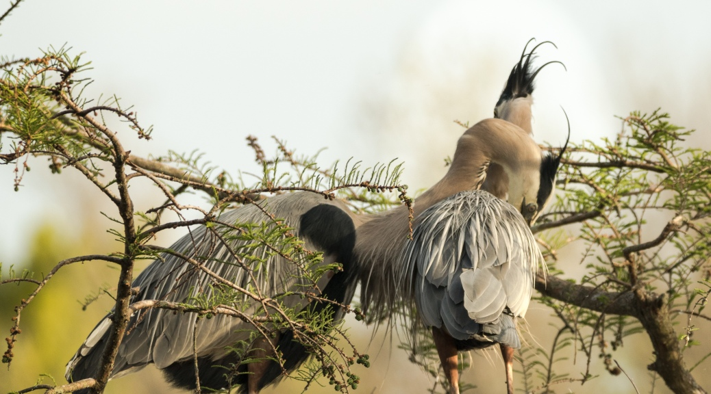 Tale Of Two Herons, Adult Affection - Click To Enlarge