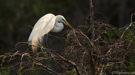 Classic Great Egret Pose - Click To Enlarge