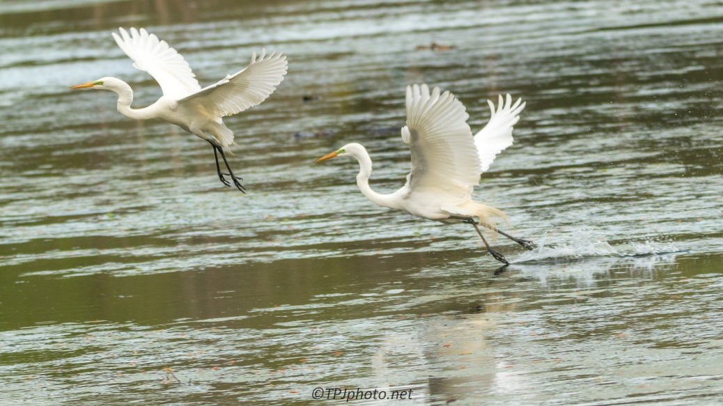 Typical Egret Behavior - Click To Enlarge
