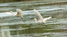 Typical Egret Behavior - Click To Enlarge