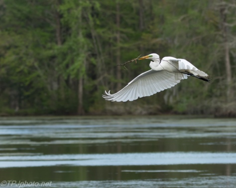 Great Egret In Flight Series - Click To Enlarge