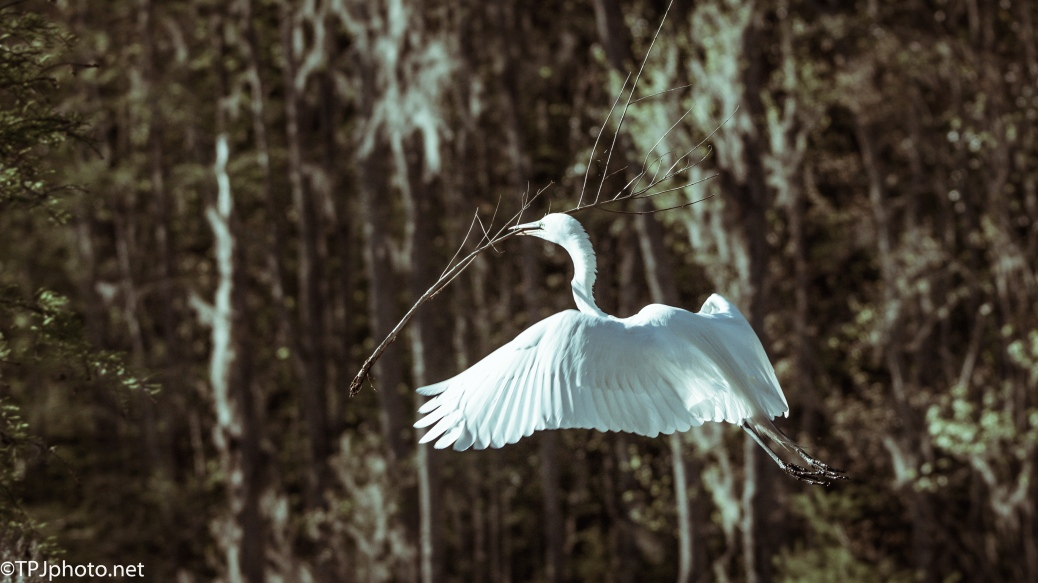 It Doesn't Matter How Dark It Gets, Great Egret - Click To Enlarge