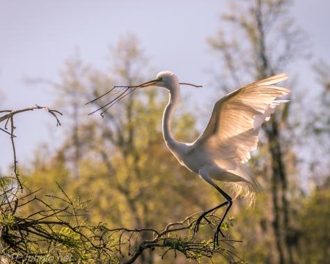 Transparent Great Egret - Click To Enlarge