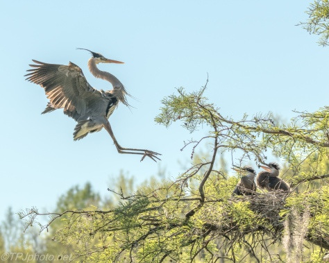 Tale Of Two Herons, A Greeting - Click To Enlarge