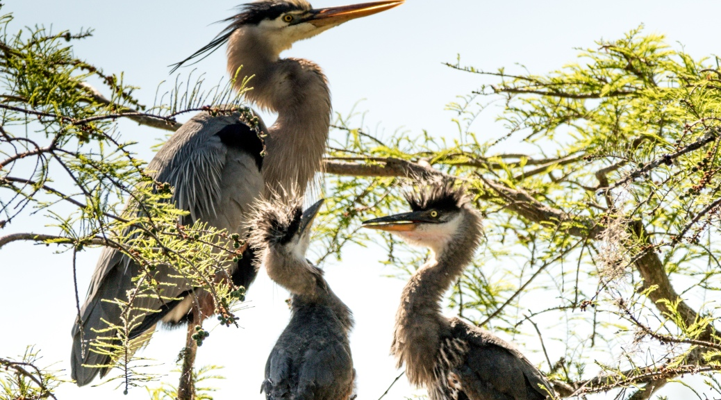Tale Of Two Herons, In The Nest - Click To Enlarge