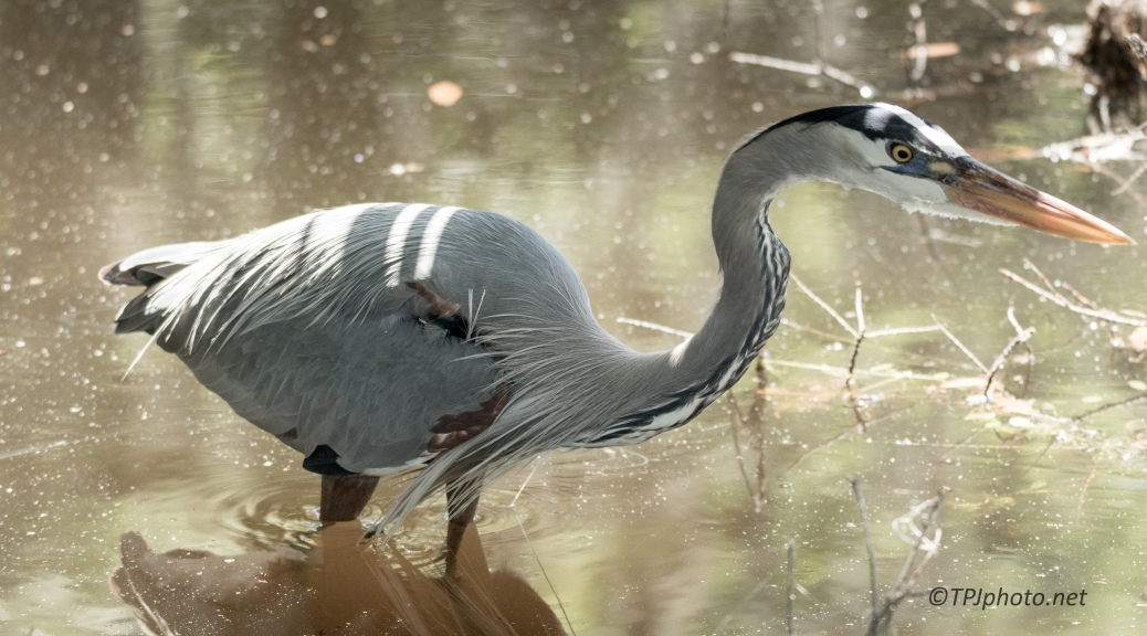 Blue Heron Getting Close - Click To Enlarge