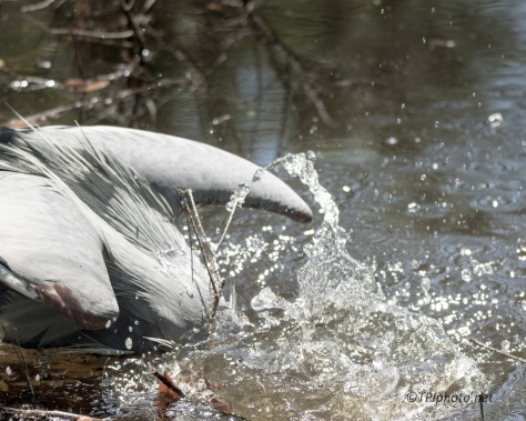Great Blue Heron, Turtle, Now What? - Click To Enlarge