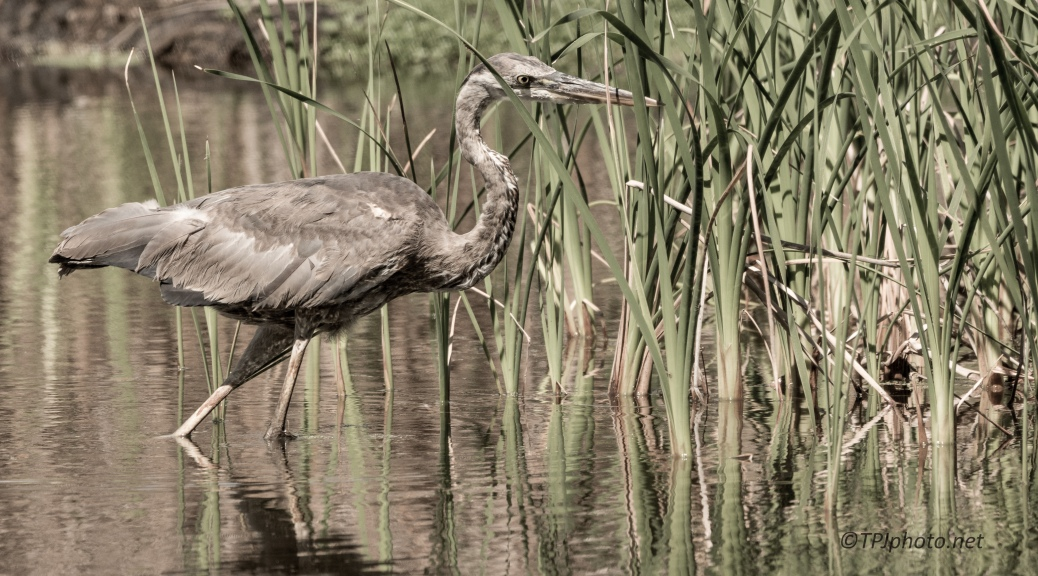 Aging Great Blue Heron - Click To Enlarge