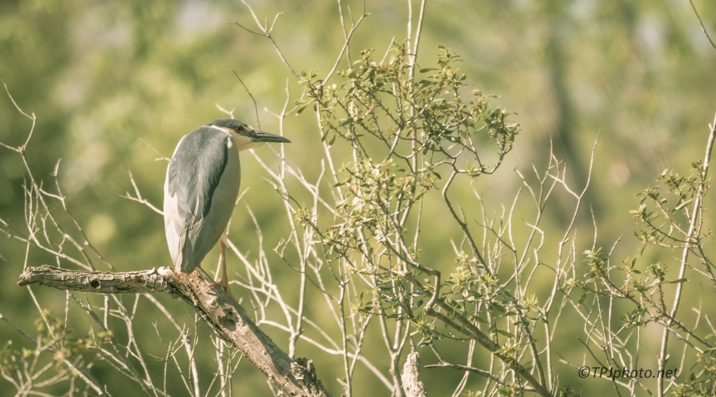 Perched, Black-crowned Night Heron - Click To Enlarge