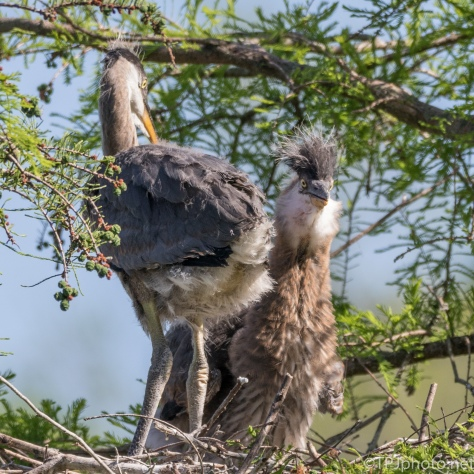 Tale Of Two Herons, Awkward Phase - Click To Enlarge