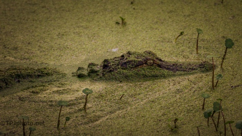 Concealment, Alligator - Click To Enlarge