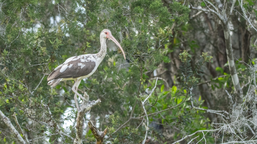 White Ibis Almost Grown - Click To Enlarge