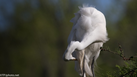 Great Egret Getting Pretty - Click To Enlarge