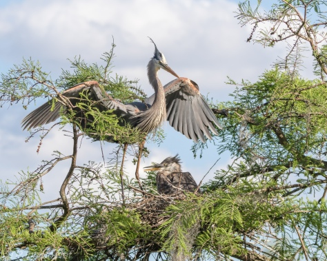 Tale Of Two Herons, Always Hungry - Click To Enlarge