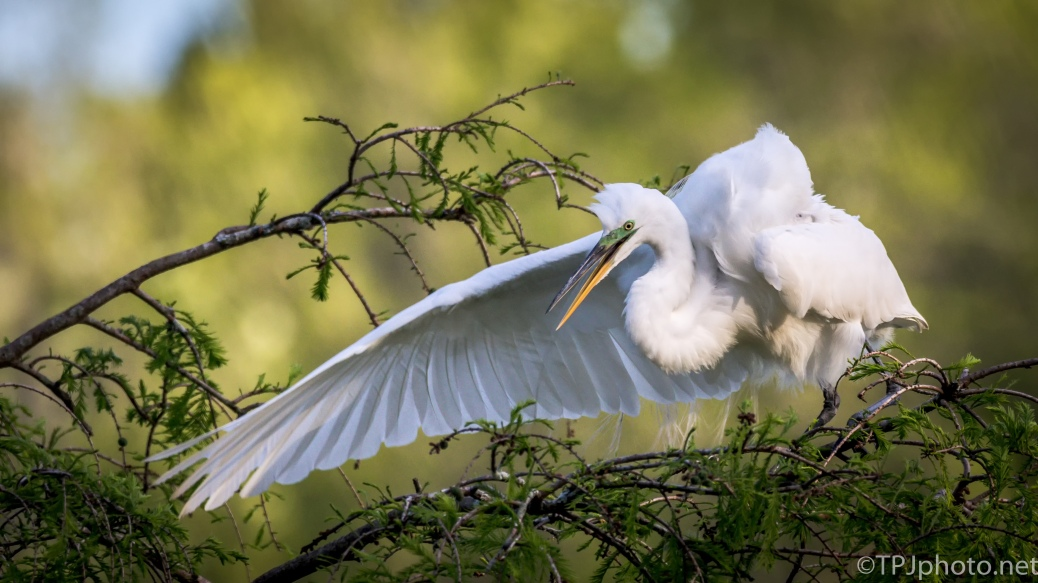 Great Egret By The Nest - Click To Enlarge