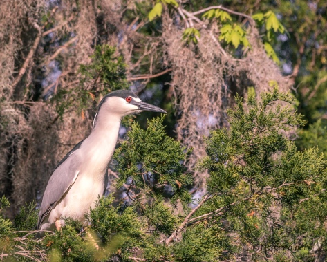 Night Heron Gathering Spanish Moss - Click To Enlarge
