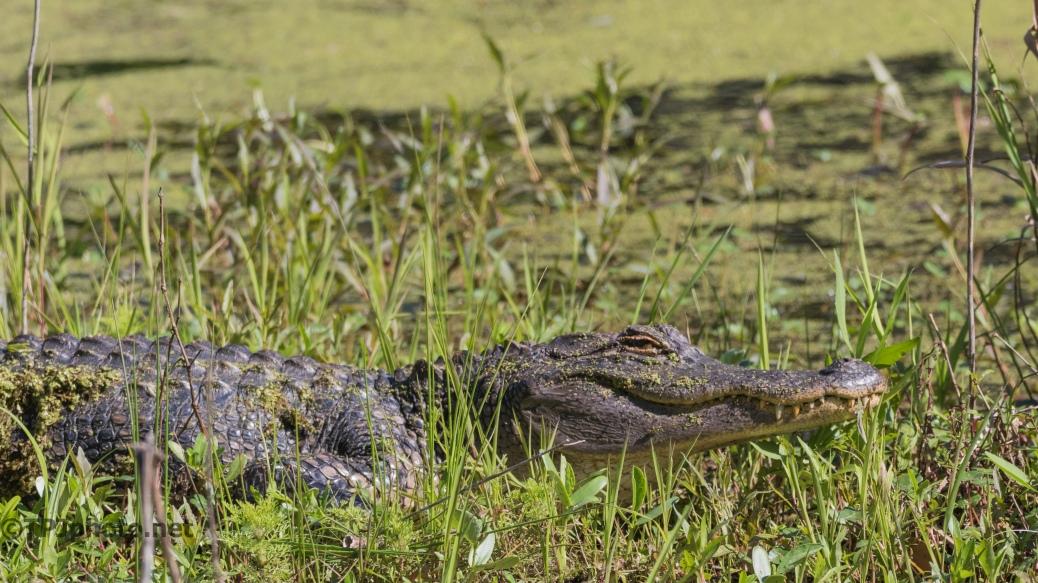 Alligator, New Address - Click To Enlarge