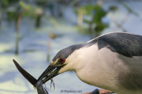 Night Heron Caught A Mud Puppy - Click To Enlarge