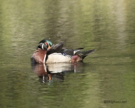 Wood Ducks - Click To Enlarge