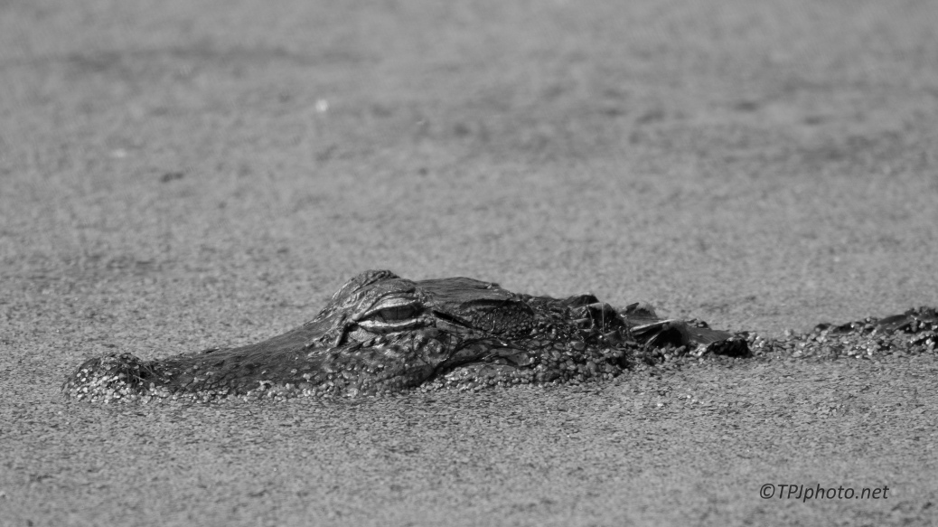 Alligator In Black And White - Click To Enlaarge