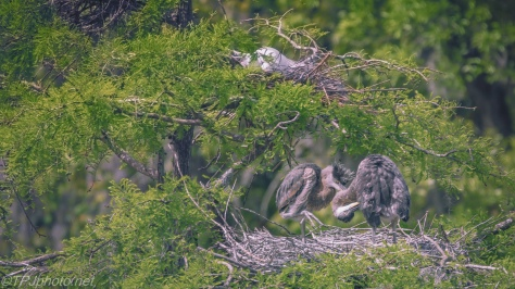 Tale Of Two Herons, A Different View - Click To Enlarge