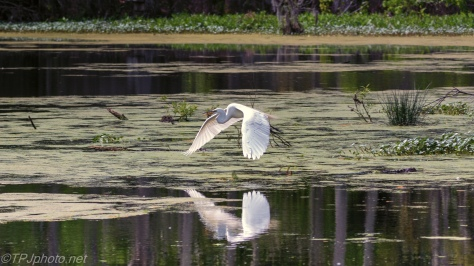 Great Egret Low Over A Swamp - Click To Enlarge