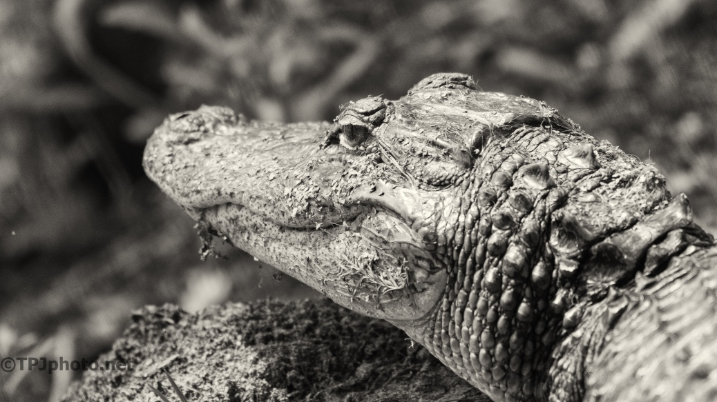 Alligator Head Shot - Click To Enlarge