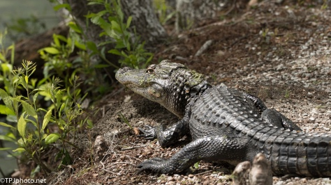 Three Foot Alligator - Click To Enlarge
