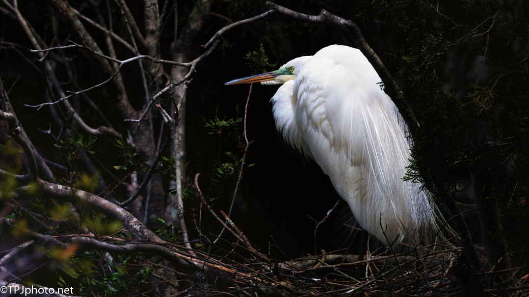 Great Egret On A Hidden Nest - Click To Enlarge