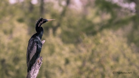 Anhinga Hanging On - Click To Enlarge
