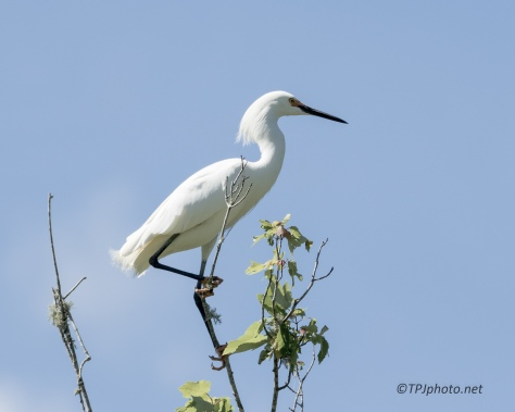 Snowy Egret Balancing Act - Click To Enlarge