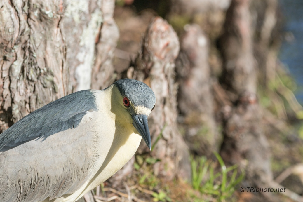 Black-crowned Night Heron Watching Me - Click To Enlarge