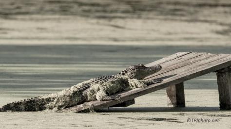 A few Local Alligators - Click To Enlarge