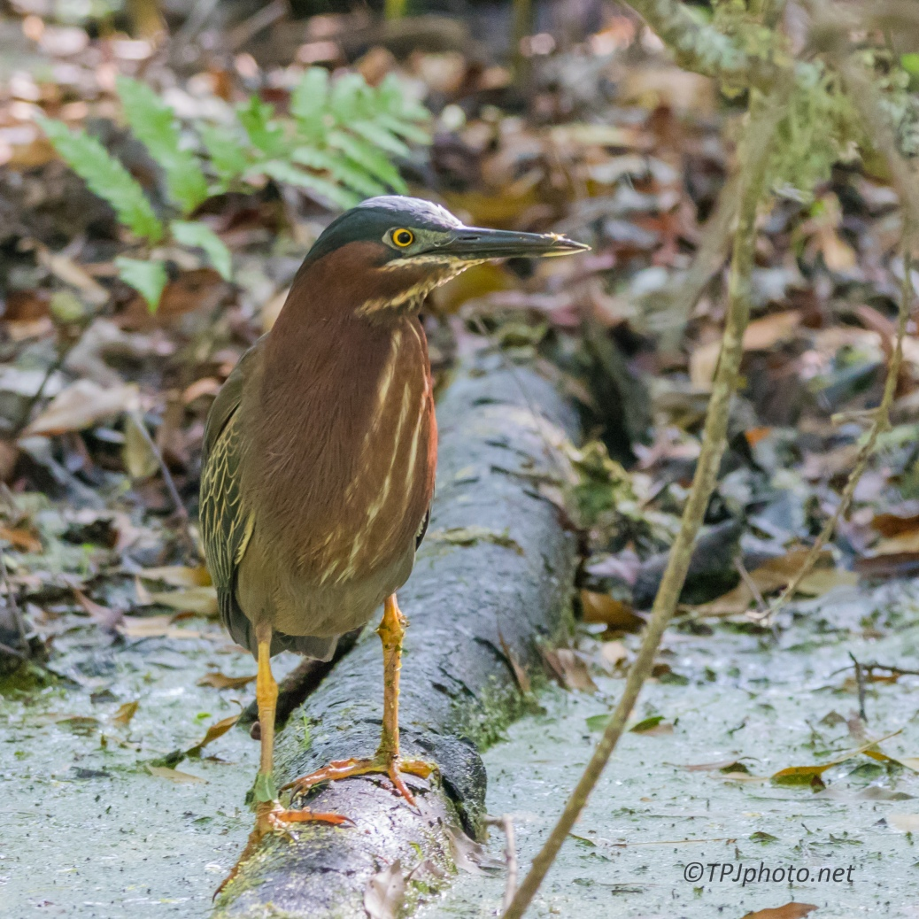 Green Heron And Bad Light - Click To Enlarge