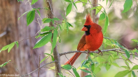 Red Cardinal - Click To Enlarge