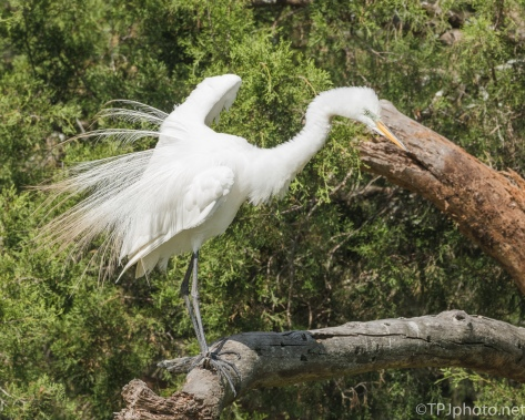 Great Egret On The Old Dead Juniper - Click To Enlarge